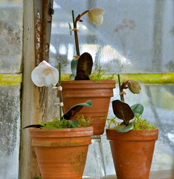 Greenhouse-#11-Lady-Slippers-rs